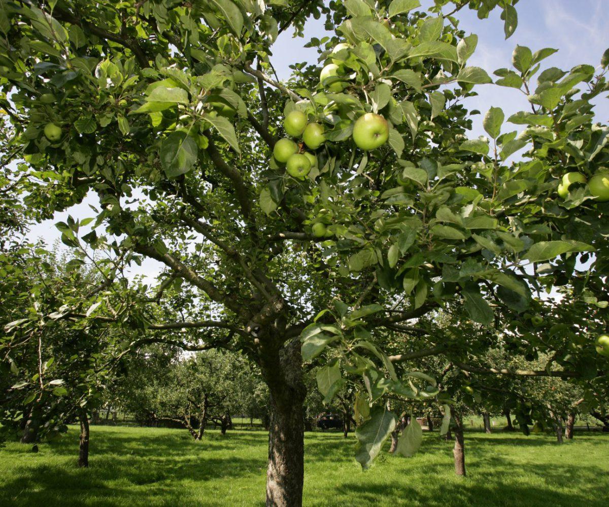 boomgaard appelboom